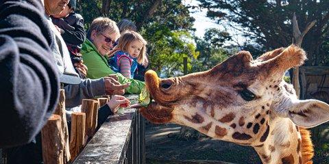 Wellington Zoo Giraffe Feed - edited (1).jpg